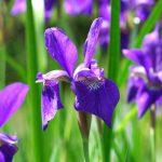 Iris_sibirica-gr