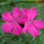dianthus-carthusianorum-fl-llandry