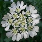 Orlaya_Grandiflora_hc