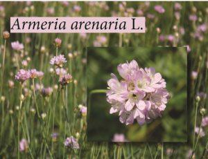 armeria